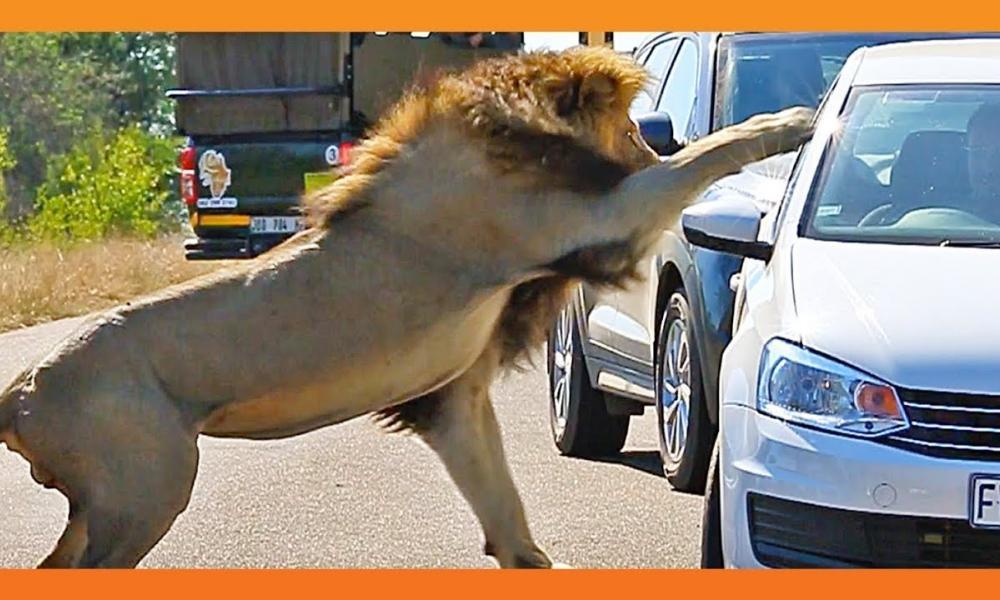 λιοντάρι σε πάρκινγκ