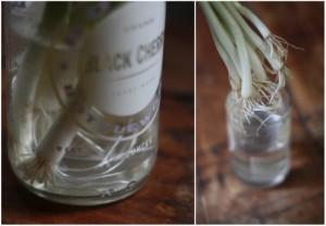 Green Onion Roots