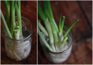 Growing Scallions in Water - pic