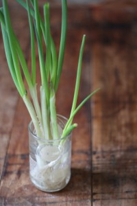 Growing Scallions-pic 2