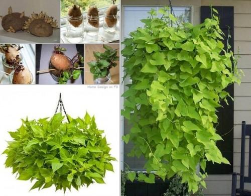 Καλλιεργήστε-κληματαριά-από-γλυκοπατάτες