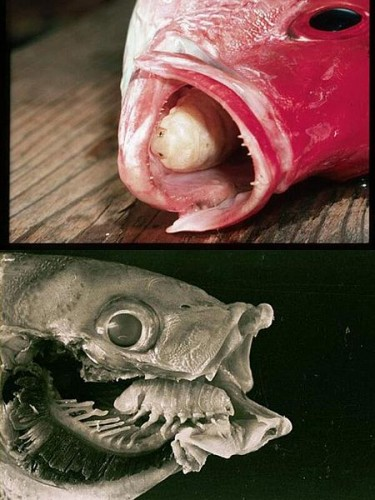 παράσιτο-που-τρώει-γλώσσες-ψαριών-2