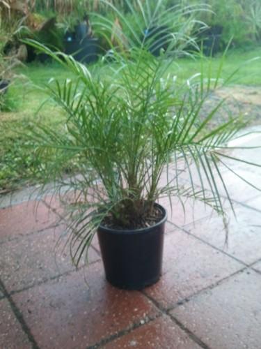 dwarf-date-palm