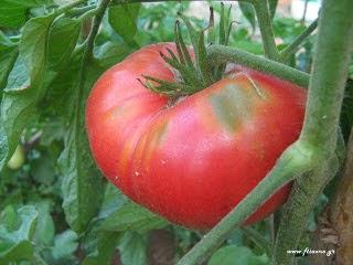 συντήρηση-ντομάτας-εκτός-ψυγείου-για-καλύτερη-γεύση