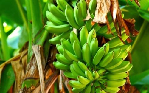 agoures-bananes