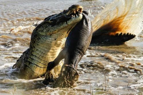ο-νόμος-του-ισχυρού-κροκόδειλος-κατασπαράζει-μικρό-ιπποπόταμο-εικόνες