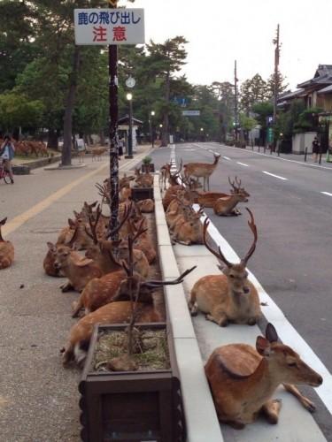 χιλιάδες-ελάφια-κατέλαβαν-αυτή-την-πόλη-στην-Ιαπωνία-1